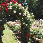 薔薇や写真が好きなら!5月は神代植物公園の圧巻バラフェスタに行こう!
